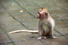 逗人喜爱的猴子在Ubud猴子森林,巴厘岛,印度尼西亚居住 库存照片