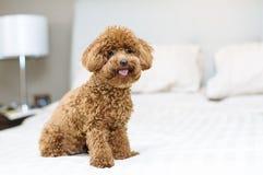 逗人喜爱的玩具狮子狗坐床 免版税库存照片