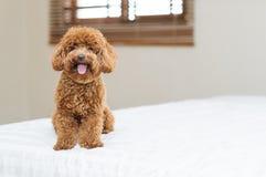 逗人喜爱的玩具狮子狗坐床 免版税库存图片