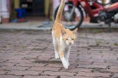 逗人喜爱的男性猫开会,放下和走 免版税库存照片