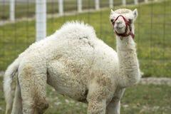 逗人喜爱的白变种骆驼 免版税库存图片