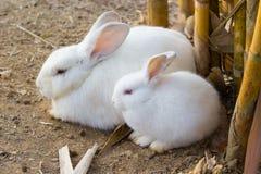 逗人喜爱的白色兔子 免版税库存照片