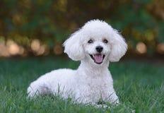 逗人喜爱的白色公长卷毛狗小狗 免版税库存照片