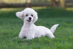 逗人喜爱的白色公长卷毛狗小狗 免版税库存图片