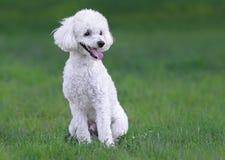 逗人喜爱的白色公长卷毛狗小狗 免版税图库摄影