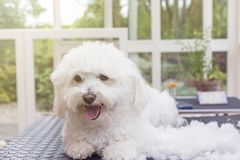 逗人喜爱的白色博洛涅塞狗享受修饰 免版税库存照片