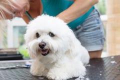 逗人喜爱的白色博洛涅塞狗是修饰的说谎在桌上 免版税库存照片