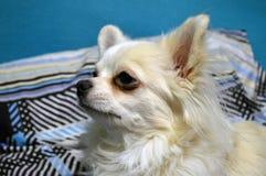 逗人喜爱的白色奇瓦瓦狗品种狗关闭的画象在外形 库存照片