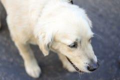 逗人喜爱的白色小狗 库存照片