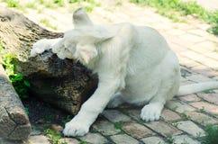 逗人喜爱的白色幼狮在Beograd动物园里 库存图片