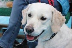 逗人喜爱的白色拉布拉多狗看起来好与黑鼻子和桃红色舌头 库存照片