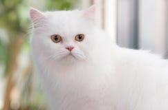 逗人喜爱的白色波斯猫画象  免版税图库摄影