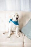 逗人喜爱的白色猎犬小狗佩带的班丹纳花绸 免版税图库摄影
