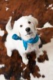 逗人喜爱的白色猎犬小狗佩带的班丹纳花绸 库存照片