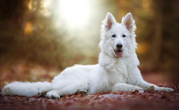 逗人喜爱的白色瑞士牧羊犬 库存照片