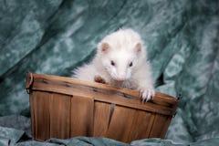 逗人喜爱的白色白鼬 图库摄影