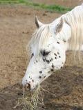逗人喜爱的白色的画象察觉了吃干草的马 图库摄影