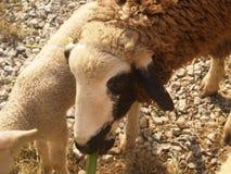 逗人喜爱的白色黑和棕色绵羊在摊位站立 库存图片