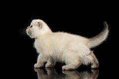 逗人喜爱的白苏格兰人折叠走的小猫,侧视图被隔绝的黑色 免版税库存照片