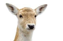 逗人喜爱的白被盯梢的鹿 免版税库存照片