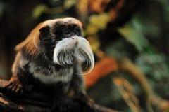 逗人喜爱的皇帝绢毛猴 库存照片