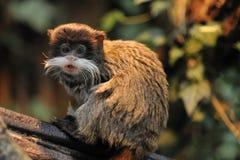 逗人喜爱的皇帝绢毛猴 免版税图库摄影