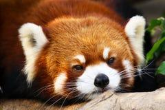 逗人喜爱的看起来的小的红熊猫,面孔射击,中国 库存图片