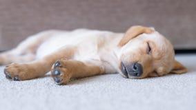 逗人喜爱的睡觉拉布拉多小狗 库存照片