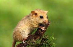 逗人喜爱的睡鼠 库存图片