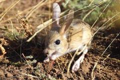 逗人喜爱的矮小的动物jerboa -啮齿目动物哺乳动物 库存图片
