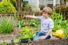 逗人喜爱的矮小的学龄前孩子男孩在春天的种植蔬菜沙拉幼木 库存图片