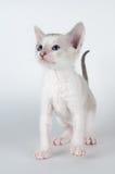 逗人喜爱的矮小的康沃尔雷克斯小猫 库存图片