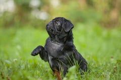 逗人喜爱的矮小的愉快的黑小狗哈巴狗在草训练的公园 免版税库存图片