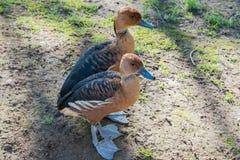 逗人喜爱的矮小的棕色鸭子 免版税图库摄影