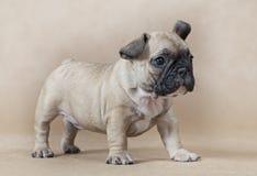 逗人喜爱的矮小的法国牛头犬小狗 免版税图库摄影