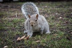 逗人喜爱的矮小的灰色灰鼠在公园 免版税图库摄影