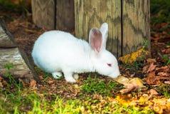 逗人喜爱的矮小的白色兔子吃草 库存图片