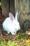 逗人喜爱的矮小的白色兔子吃草 库存照片