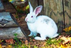 逗人喜爱的矮小的白色兔子吃草 免版税库存图片