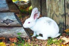 逗人喜爱的矮小的白色兔子吃草 图库摄影