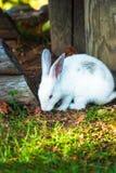 逗人喜爱的矮小的白色兔子吃草 免版税图库摄影