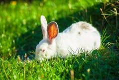 逗人喜爱的矮小的白色兔子吃草 免版税库存照片