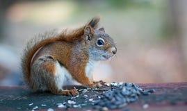 逗人喜爱的矮小的红松鼠 库存图片