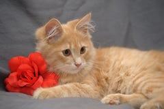 逗人喜爱的矮小的红色猫 免版税库存图片
