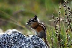 逗人喜爱的矮小的落矶山脉花栗鼠为冬天做准备 免版税库存图片