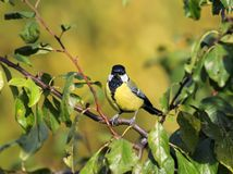 逗人喜爱的矮小的蓝冠山雀坐在叶子中的一个分支在Th 免版税库存照片