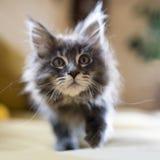 逗人喜爱的矮小的长毛的小小猫 库存图片