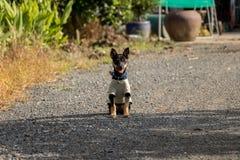 逗人喜爱的矮小的黑小狗坐在太阳微小的狗佩带的衣裳的-亚洲庭院在一明亮的好日子 库存图片