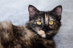 逗人喜爱的矮小的黑棕色小猫在灰色水泥地板上放下 库存图片