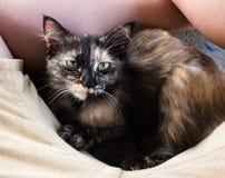 逗人喜爱的矮小的黑棕色小猫放下在有棕色短裤的黄色亚洲人腿之间 免版税库存图片